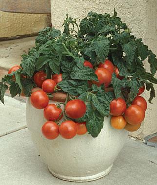 los-mejores-tomates-para-cultivar-en-maceta-01.jpg